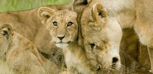 Lion Cub with Mother in the Serengeti, by David Dennis - @davidden on Flickr
