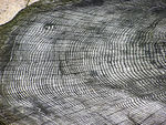 Using tree rings to date a 650 year old volcanic eruption