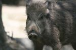 Geography alumnus gets into a diplomatic incident... with a boar