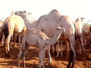 The difference a species makes: converting to camels in northern Kenya